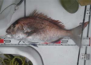 真鯛58cm